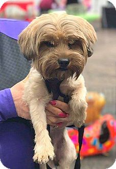 New Jersey Nj Yorkie Yorkshire Terrier Meet Mercerville Nj Mylo A Dog For Adoption Http Www Adopt Yorkshire Terrier Yorkie Yorkshire Terrier Yorkie