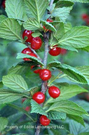 Nanking Red Bush Cherry Prunus Tomentosa Same Bush Type