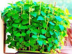 8 Pflanzen, die Mücken fernhalten #pflegeleichtepflanzen