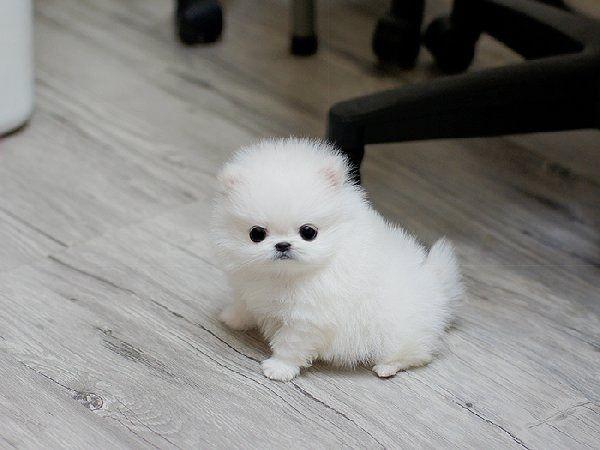 Pin By Monica Schmidt On Worlds Third Cutest Dogs Pomeranian Puppy Teacup Pomeranian Puppy For Sale Pomeranian Puppy