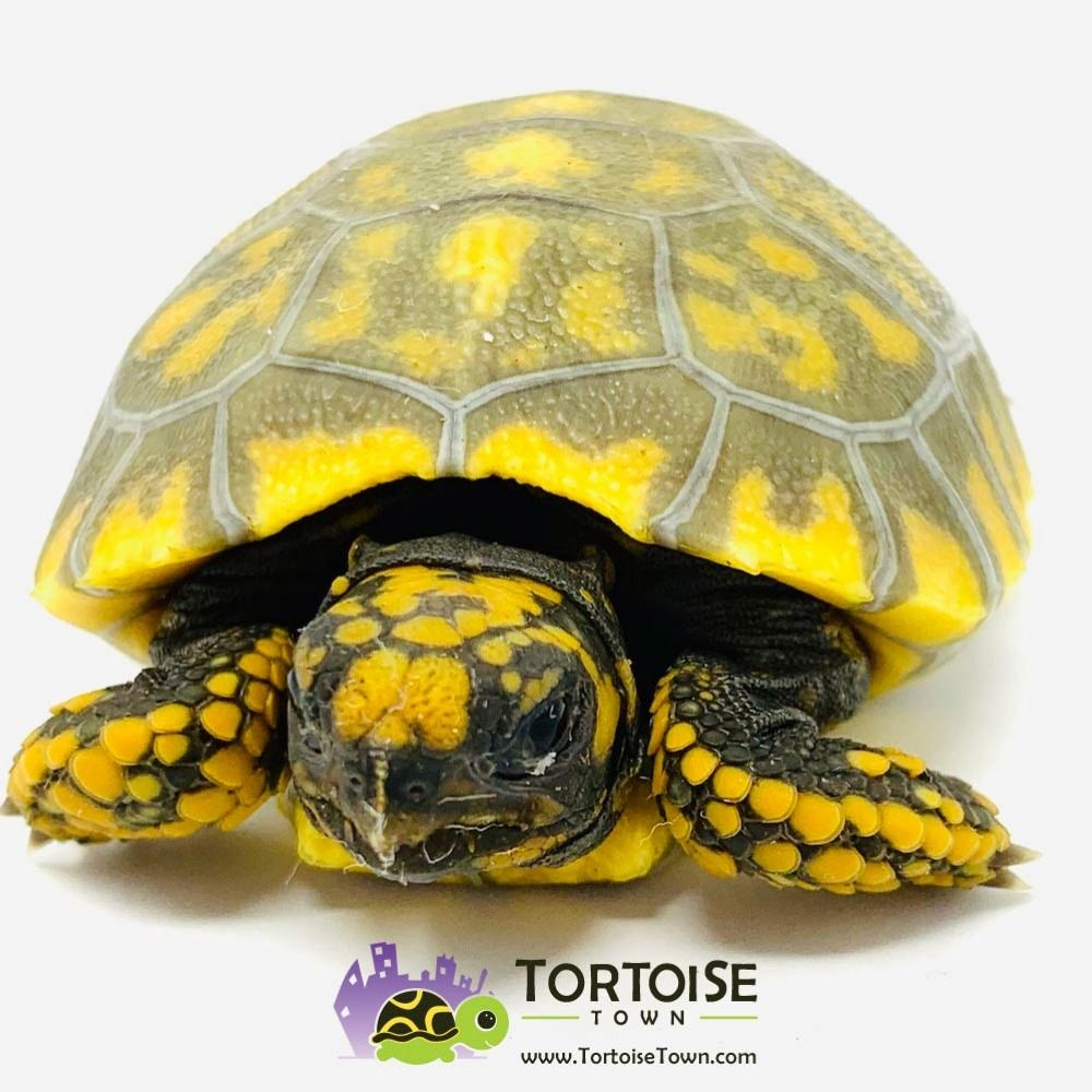 Yellow Foot Tortoise for sale baby yellow footed tortoises