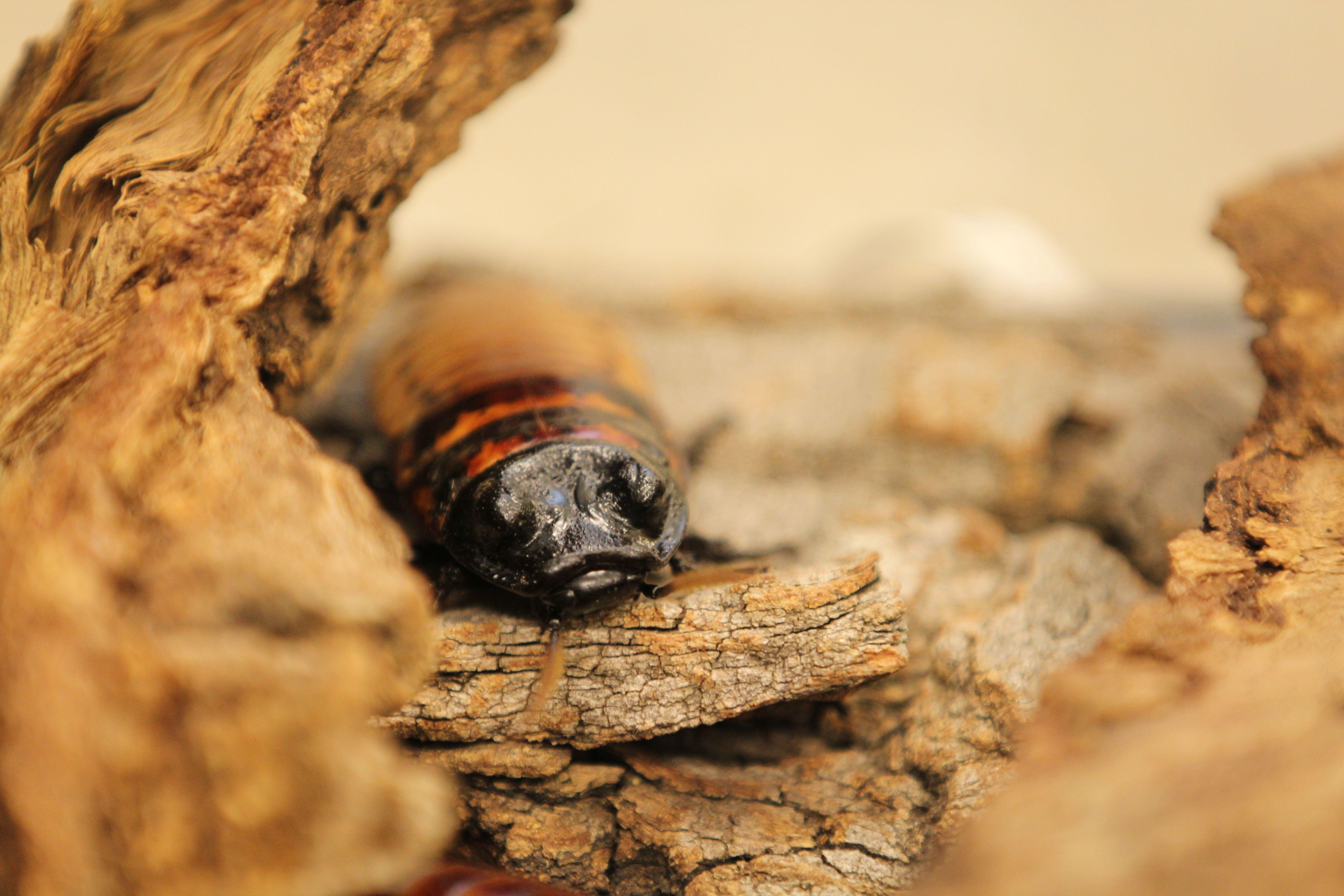 Lee Richardson Zoo Hissing Cockroach