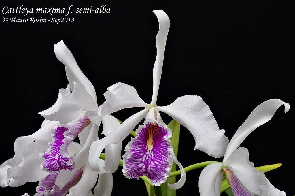 Cattleya Maxima F Semi Allba Maxima