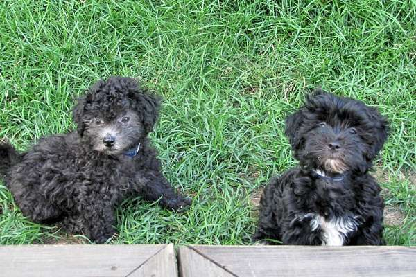 We Have 3 Adorable Bichon Poodle Puppies 2 Black Females And 1