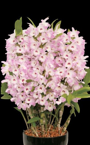 Dendrobium Super Model Platinum Den Super Model Fancy