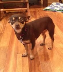 Olivia Ozennie Is An Adoptable Chihuahua Dog In Seattle Wa My