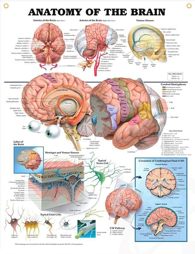 Anatomy of the Brain 20x26 | Anatomía, Neurociencia y Neurología