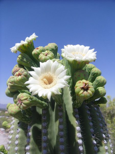 blooming saguaro cactus ~ the flowers will fade, and fruits will - will form