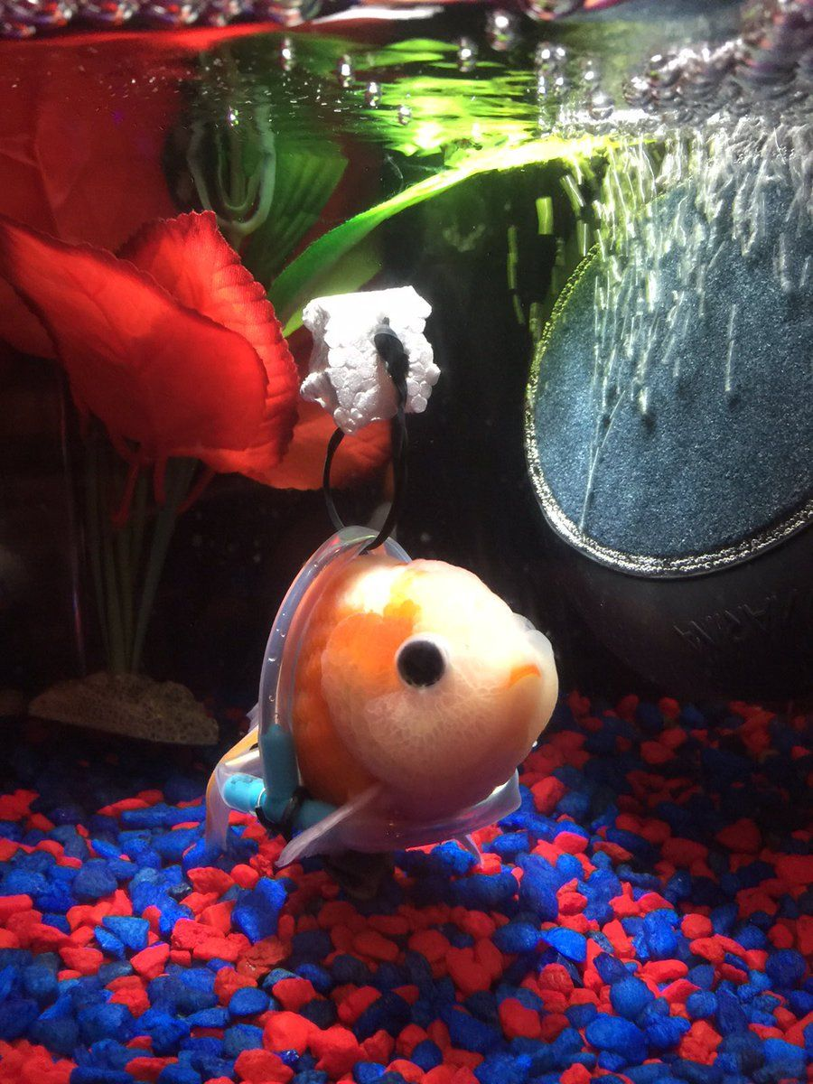 Update Wheelchair fish is doing great Goldfish, Pet