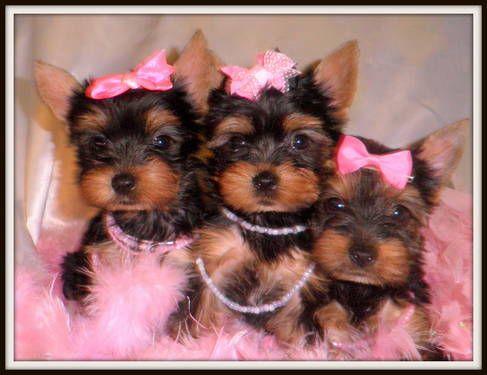 Adorable Little Ckc Registered Female Yorkie Puppies Yorkie Puppy Yorkie Cute Little Dogs