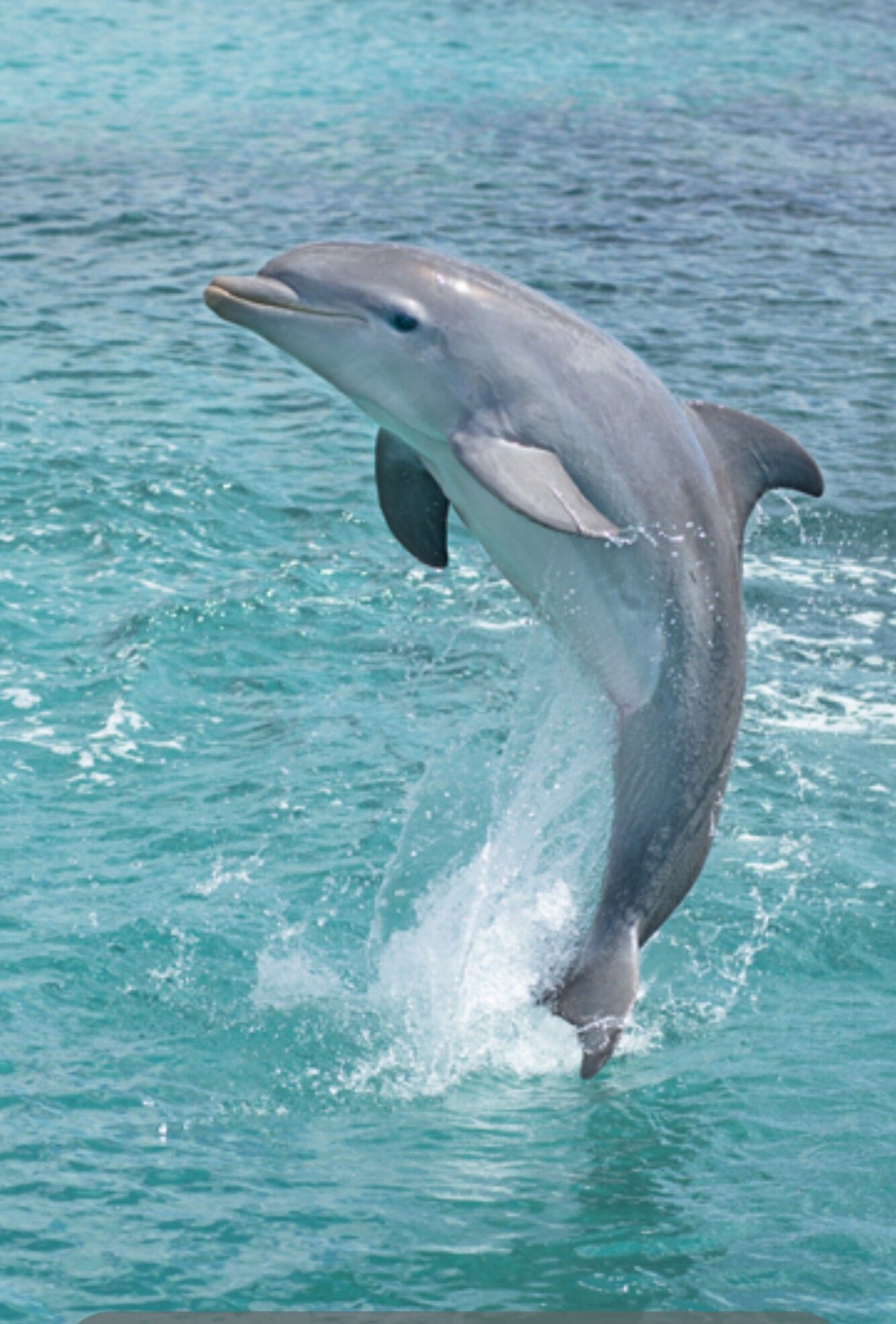 dolphin are often spotted along the santabarbara coast or at the