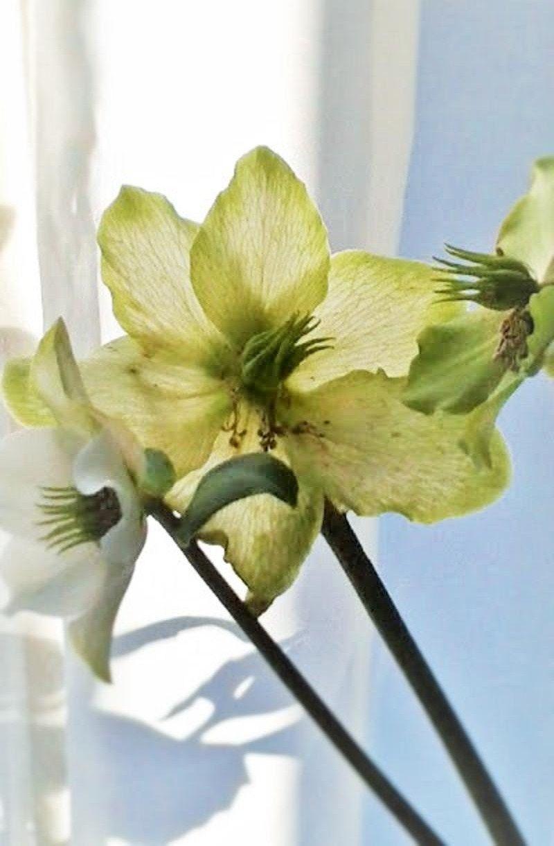 flor de la vainilla.