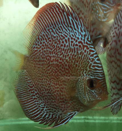Ikan Discus Snakeskin Binatang Hewan Ikan Air Tawar