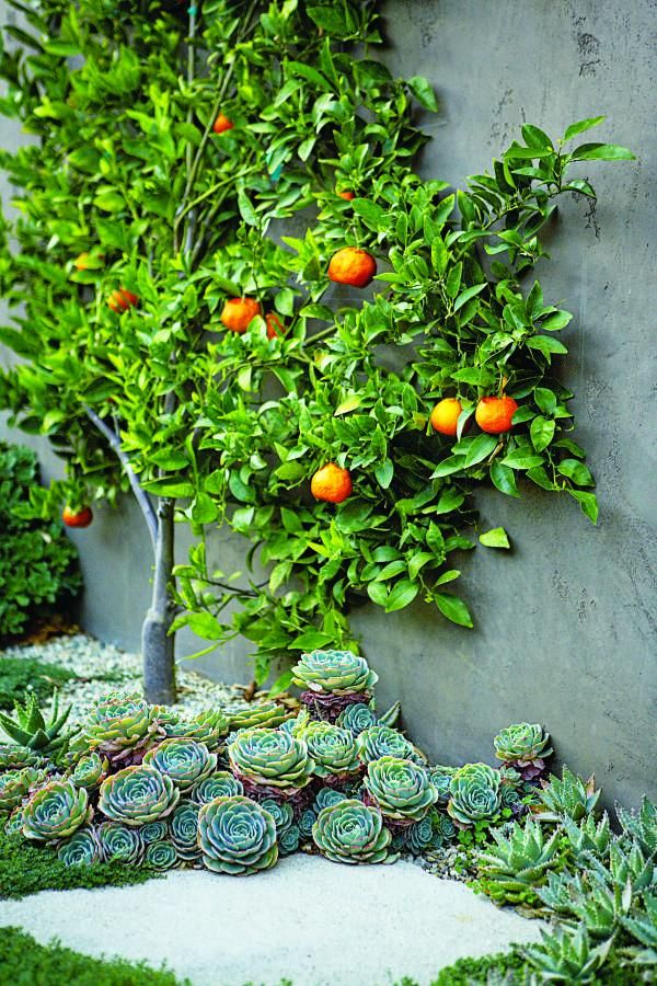 At A Los Angeles Residence An Espalier Tangerine Tree Is Surrounded By Hen And Chicks At Its Base Design B Mediterranean Garden Succulents Modern Landscaping