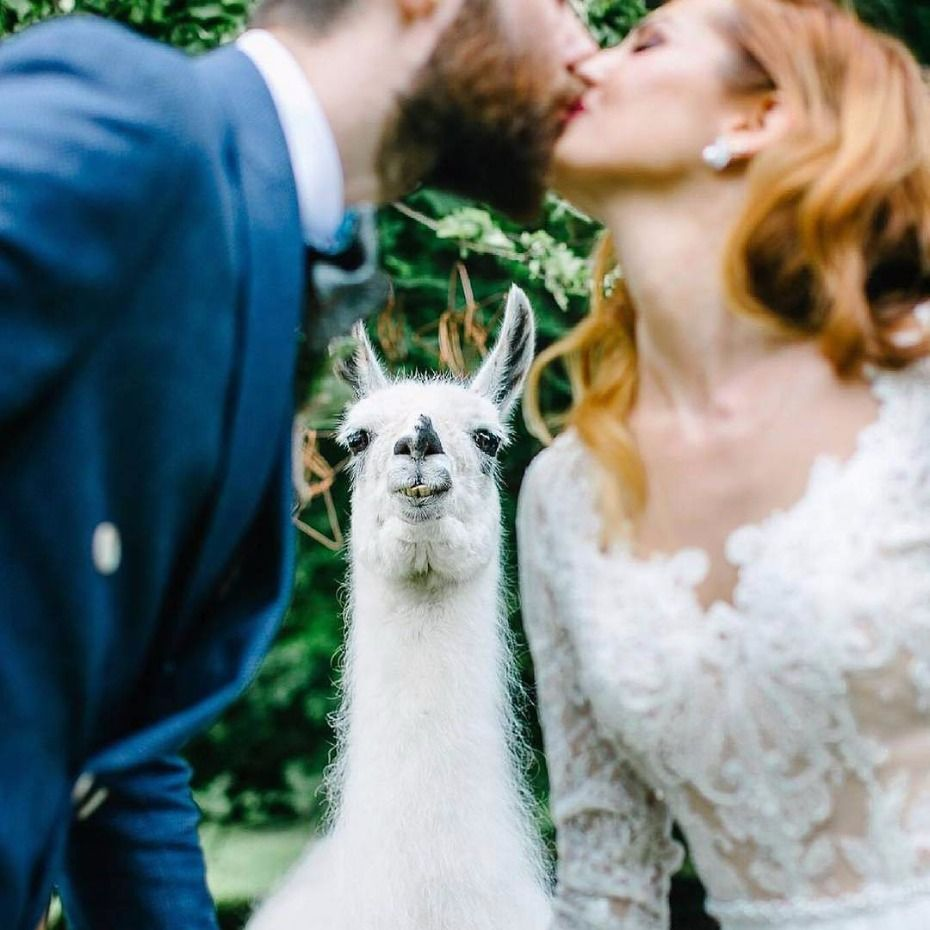 How To Have An Alpaca At Your Wedding Alpacas Wedding And Weddings - If you hate humans you can now invite llamas to your wedding instead