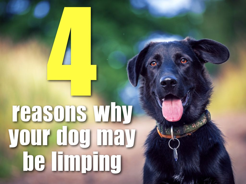 If Your Dog Is Limping Check Out These Four Common Causes Pets
