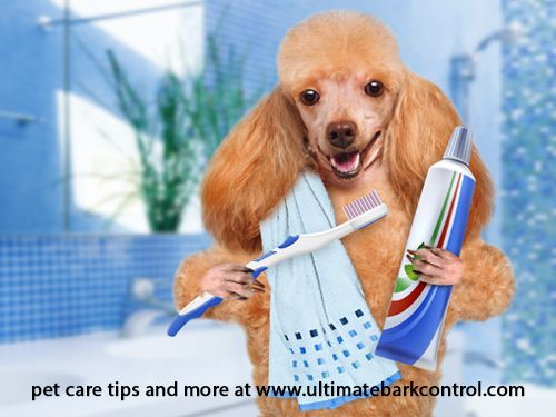 Pet Hygiene How To Clean Your Dog S Teeth Ultimatebarkcontrol
