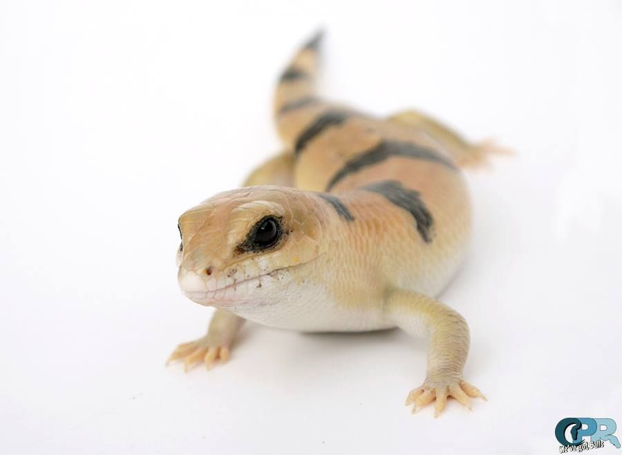 Peters Banded Skinks Reptiles Pet Reptiles And Amphibians Happy Animals