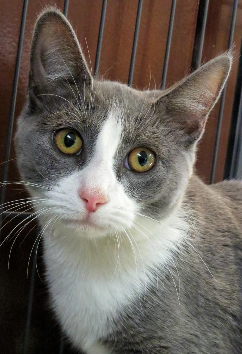 Adopt 7 548 Marcella On Petfinder Cats And Kittens Animal Shelter Grey And White Cat