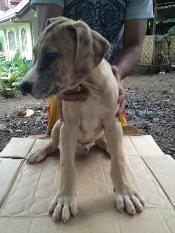 For Sale Great Dane Puppies With Negotiable Price Pets