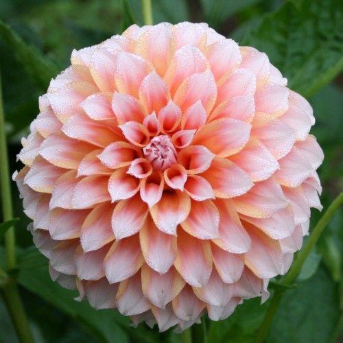 Love It Blumen Dahlien Pfirsich Blumen