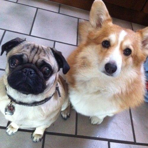 Boom Corgi Pug Pug Corgi Mix Pugs