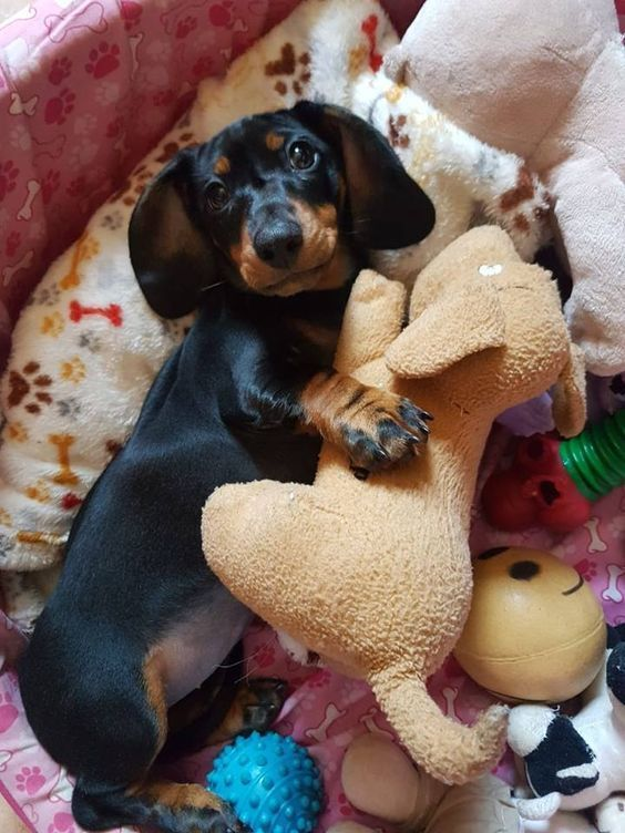 Dachshund Dog Toy Cute Toys