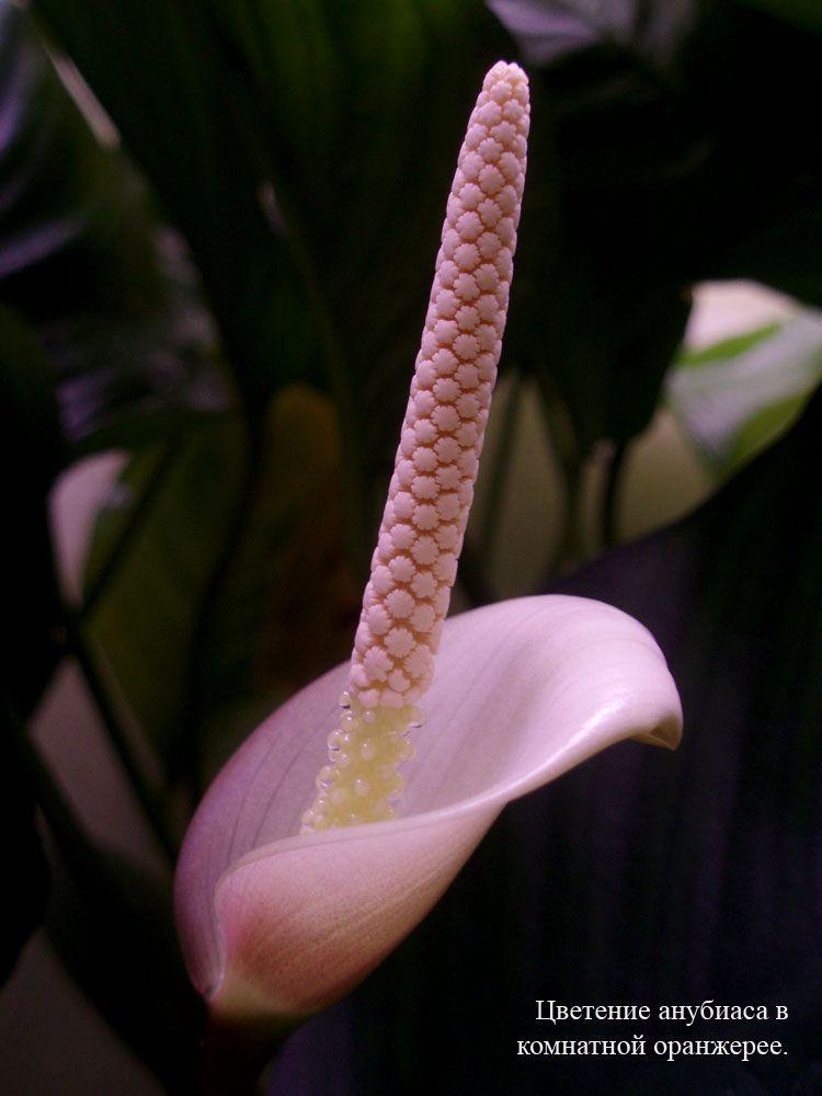 Anubias sp. Эмерсное цветение.