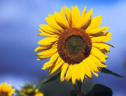 Sunflower Wild Rose College Of Natural Healing Sunflower Flower Essences Dysfunctional Relationships