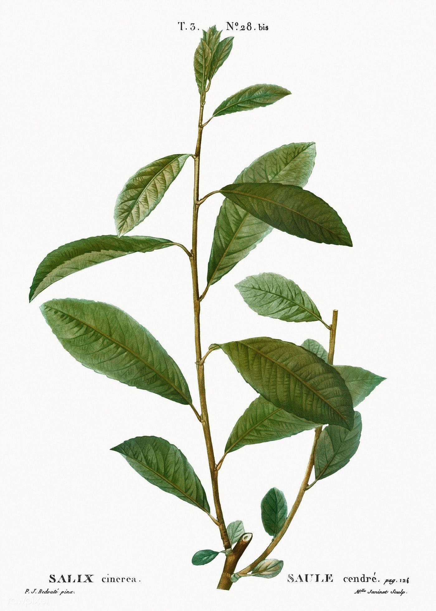 Grey willow, Salix cinerea from Traité des Arbres et