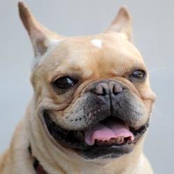 Adopt Vivian On French Bulldog Cute Animals French Bulldog Dog