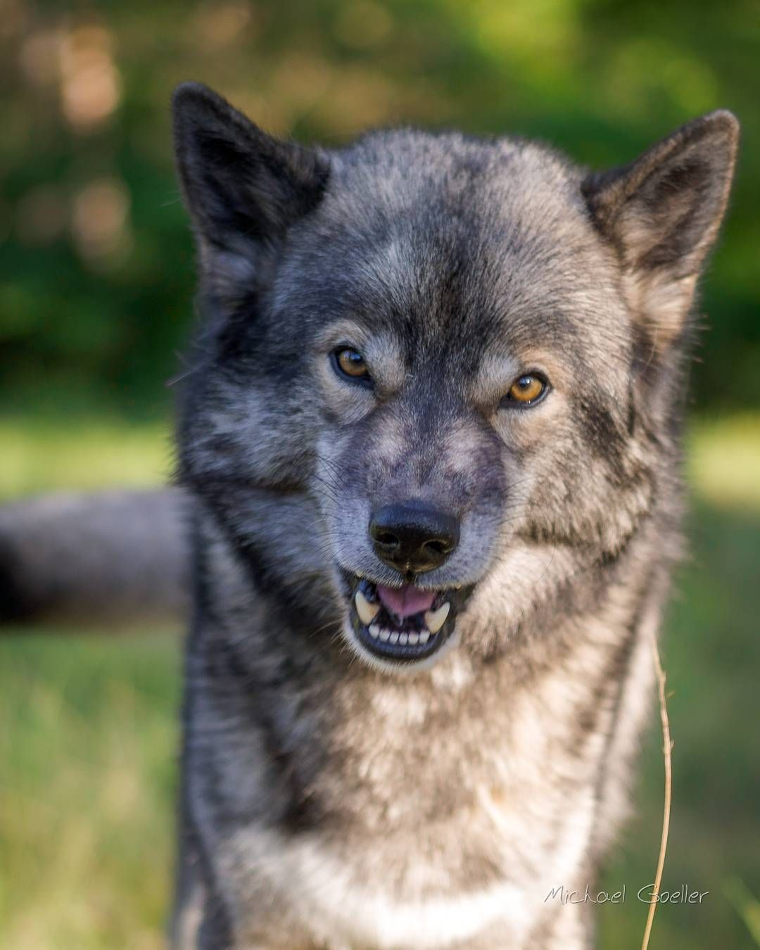 5 334 Curtidas 58 Comentarios Wolf Look Alike Siberian Husky