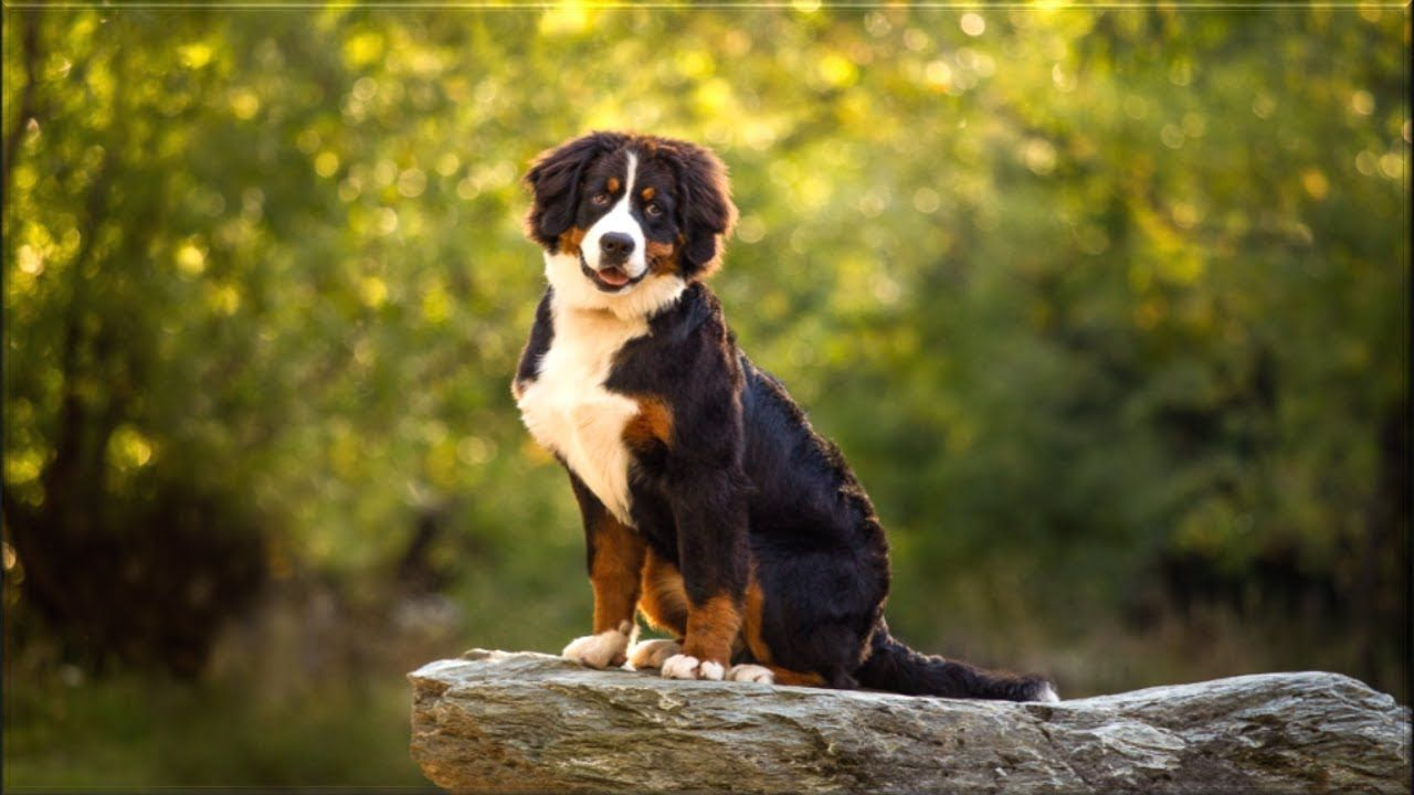 Bernese Mountain Dog Breed Travel Birds Animals In 2020 Mountain Dog Breeds Spitz Type Dogs Dog Breeds