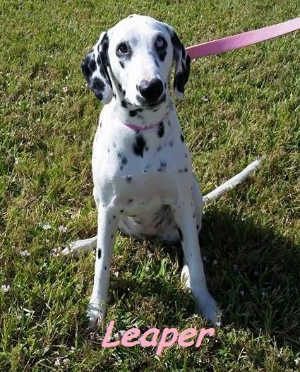 Adopt Leaper On Dalmatian Rescue Dalmatian Dogs Dogs Puppies