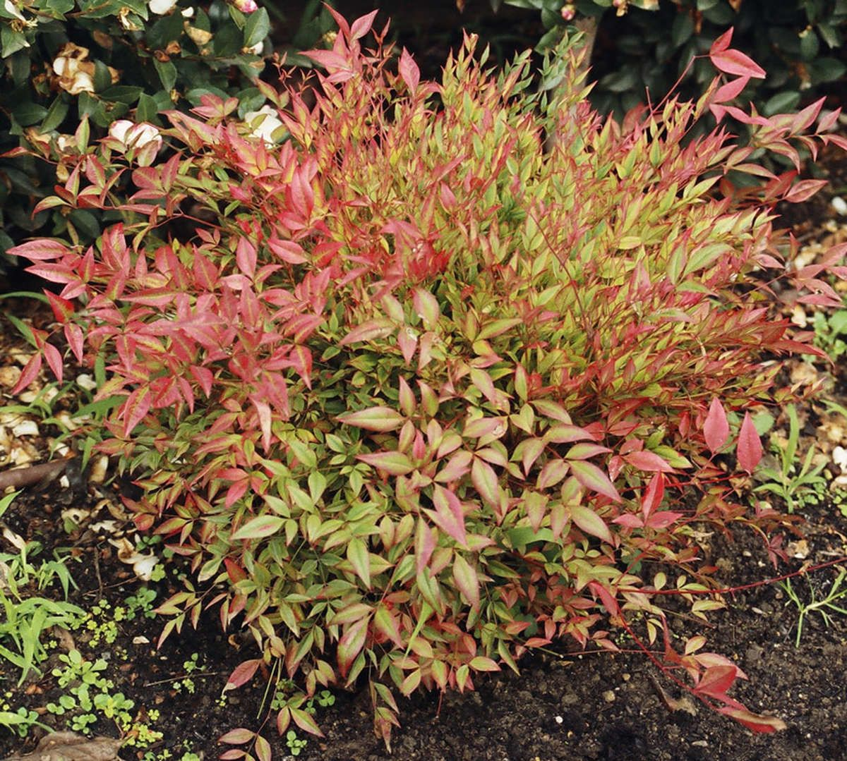 nandina domestica 39 moonbay 39 mediterranean style plants pinterest gardens and plants. Black Bedroom Furniture Sets. Home Design Ideas