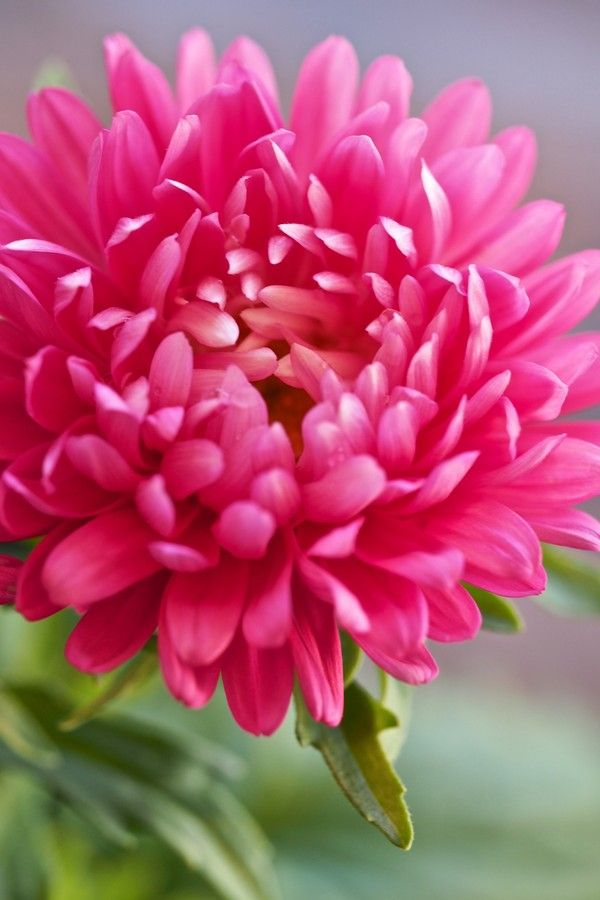 Aster pink by ralph gillen on 500px spectacular flowers and aster pink by ralph gillen on 500px mightylinksfo