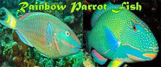 Mengulas Tuntas Ikan Hias Rainbow Parrot Fish Lengakap Dengan Cara