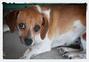 Adopt Sweetie On Adoptable Dachshund Dog Pet Adoption Dachshund