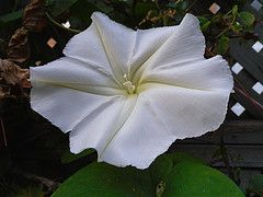 Morning Glory - I think this is a Moon Vine !