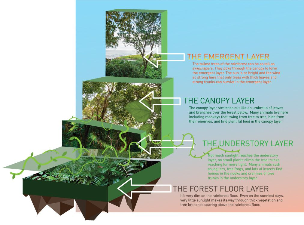 What Are the Layers of the Rainforest? | Amazon rainforest