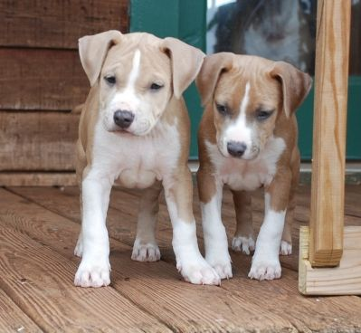 This Little Amstaff Puppy On The Left Looks Like My Gryphon Used