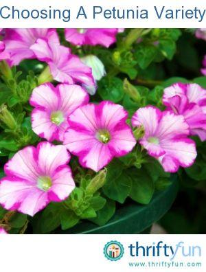 Choosing A Petunia Variety Petunias Plants Flower Colouring In