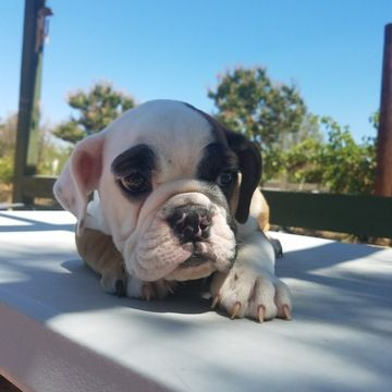 French Bulldog Puppy For Sale In Los Angeles Ca Adn 43040 On