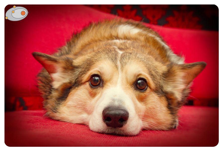 Snickers The Cute Pembroke Welsh Corgi Corgi Welsh Corgi Corgi Dog