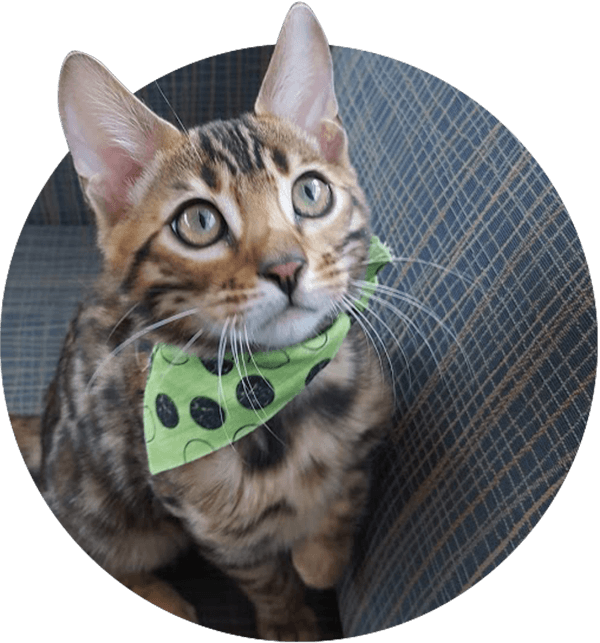 Blue Bengal Cats & Kittens for Sale 🐱 Bengal cat kitten