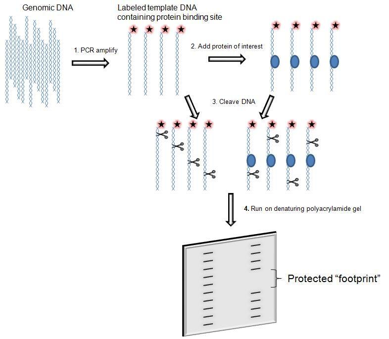 Dna Footprinting Gel Electrophoresis Worksheets Gel