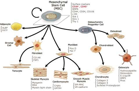 Image Result For Adipose Mesenchymal Stem Cell
