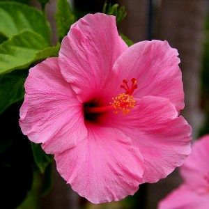 Hibiscus (Pink)  Plant is part of Hibiscus plant, Growing hibiscus, Pink plant, Perennial flowering plants, Hibiscus, Hibiscus garden - Buy hibiscus (pink)  plant from Indias largest online plant nursery at best price  Get a fully grown hibiscus   Free Pot   6000+ Plants   All India Delivery