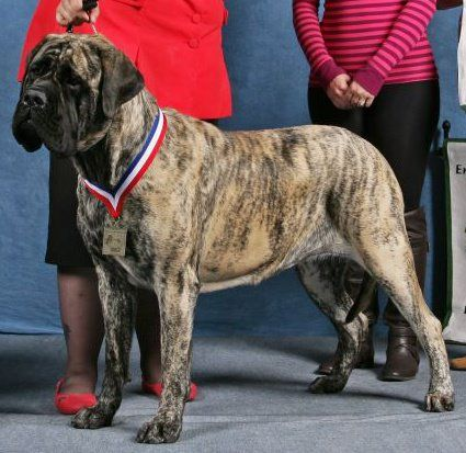 A Mastiff Blog Basic Understanding Of Pedigrees