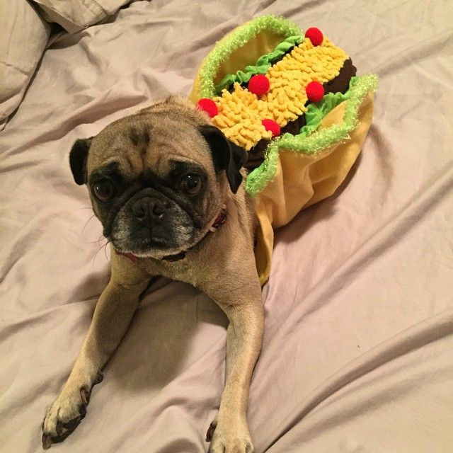 Coco wants to give you all taco-flavored kisses... #TacoDog #CincoDeMayo